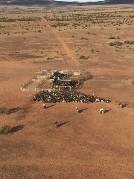 county-helicopters-Mustering9